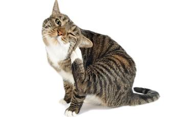 У кота завелись блохи
