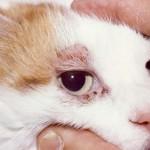 Железница у кошки: заражены почти все, получают лечение лишь некоторые
