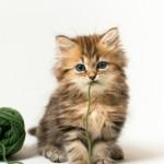 Как вылечить диарею у котенка в домашних условиях?