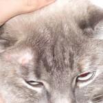 Лечение и меры предосторожности при обнаружении лишая у кошки