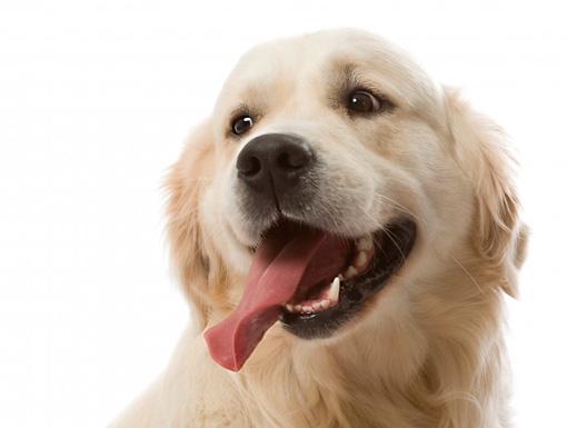 Лизуха у собаки