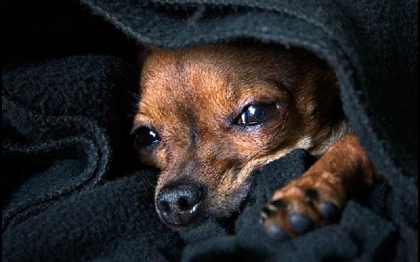 Больная пироплазмозом собака