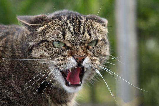 Буйный кот