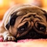 Токсоплазмоз у собак: заражение элементарно, излечение невозможно