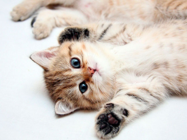 Массаж животика котенку