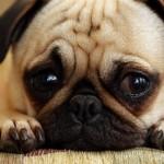Диагностика и лечение пироплазмоза у собак