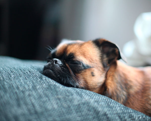 Спящий пес набирается сил