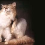 Боремся с блохами у кошек