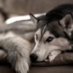 Энтерит у собак: молниеносный убийца