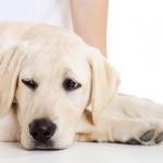 Воспаление слизистой оболочки мочевого пузыря у собак