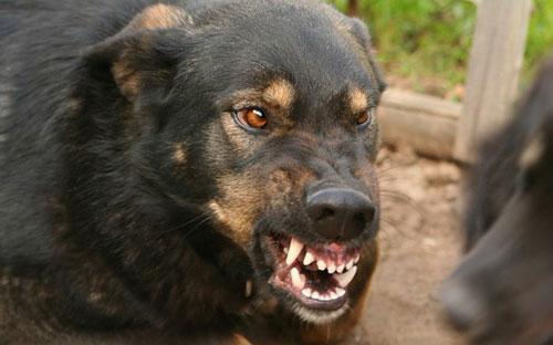 Период агрессии у собаки