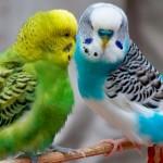 Лечение болезней у волнистых попугайчиков
