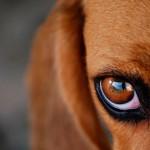 Причины и помощь при нагноении глаз у собак