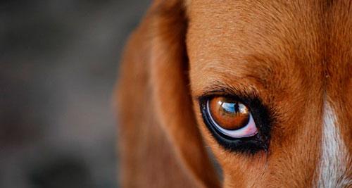 гноятся глаза у собаки