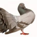 Лечение и профилактика заболеваний голубей