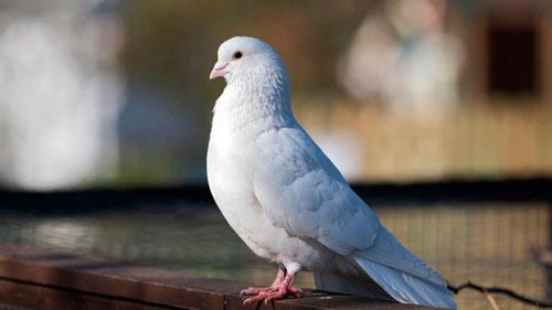 красивый белый голубь