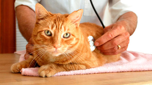 лечение цистита у кошки