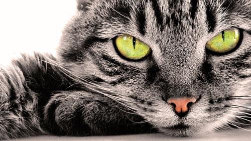 лечение перхоти у кошки