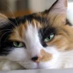 Камни в почках и мочевом пузыре у кошек