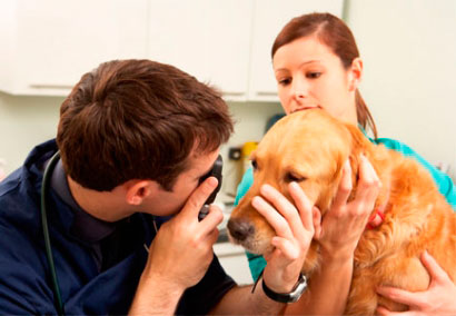 осмотр глаз у ветеринара