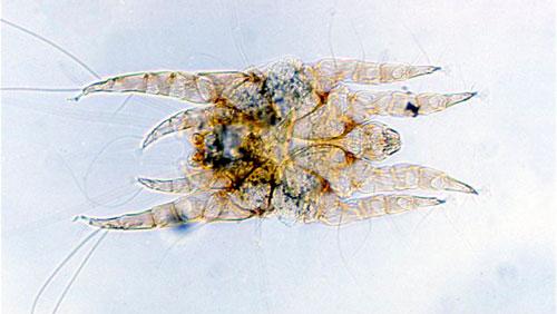 Otodectes cynotis