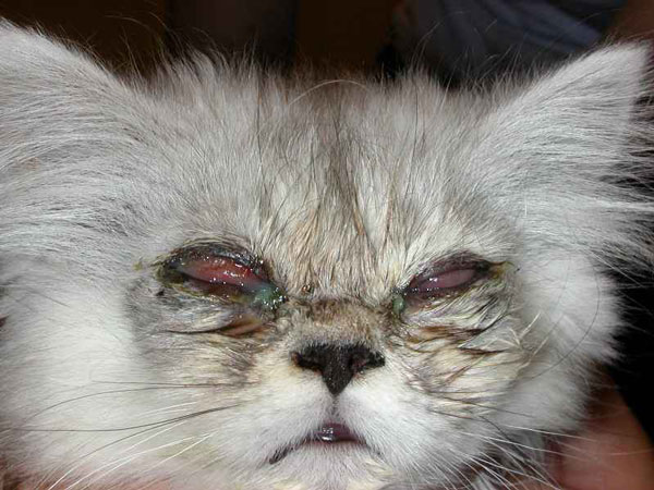 У некоторых кошек ринотрахеит