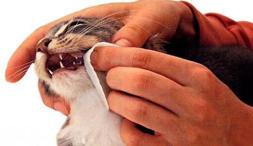 почему у кошки течет изо рта