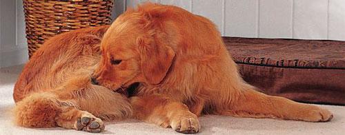 Собака выкусывает блох