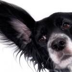 Как лечить ушную чесотку у собак
