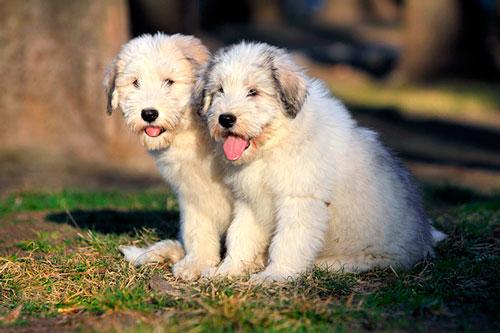 Собаки без блох