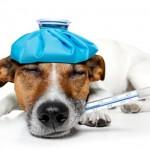 Какой должна быть температура тела у собак