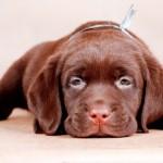 Глистогонное средство для собак Дронтал плюс