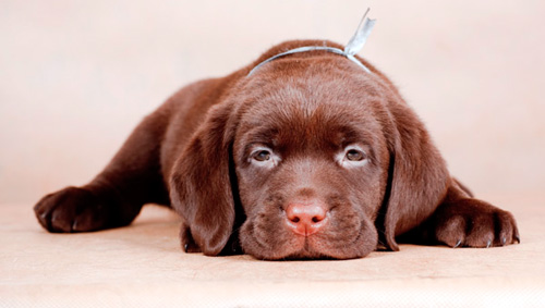 собаку тошнит