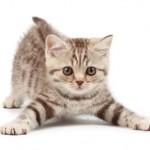 Причины возникновения и лечение запора у котов