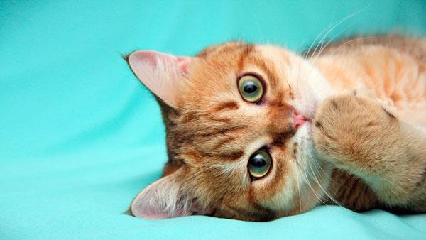 Вакцинация котенка