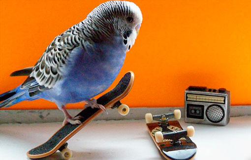 Волнистый попугай на скейте