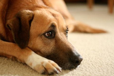 воспаление глаз у собаки