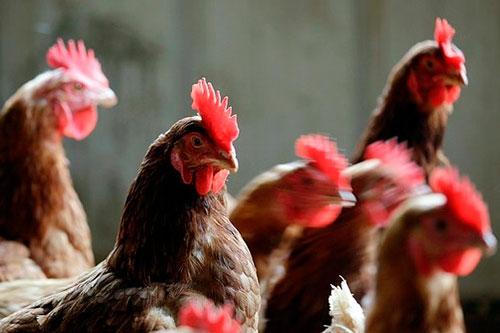 заболевания куриц