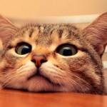 Причины и помощь при нагноении глаз у кошек
