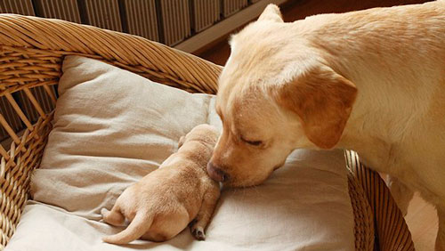 эклампсия у собаки