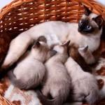 Воспаление молочной железы у кошек