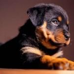 Причины и лечение крипторхизма у собак
