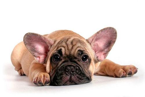 лечение стафилококка у собаки