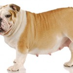 Что делать при ложной щенности у собаки