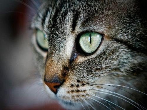 нагноение глаз у кота
