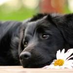 Диагностика и лечение простатита у собак