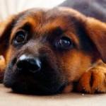 Гиперадренокортицизм у собаки: описание, признаки и лечение