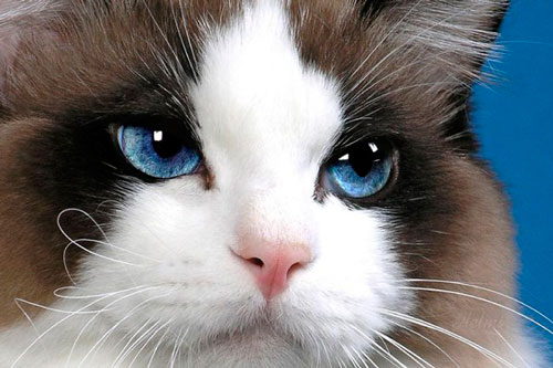 у кошки конъюнктивит