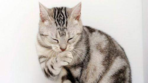 у кота рвота с шерстью