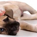 Воспаление уха при отите у собаки